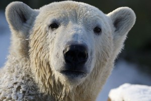 Polar bear Knut enjoys the cold weather in his enclosure at the Berlin Zoo January 6, 2009. REUTERS/Johannes Eisele (GERMANY).  FOR EDITORIAL USE ONLY. NOT FOR SALE FOR MARKETING OR ADVERTISING CAMPAIGNS.